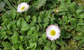 Маргаритка Красная маргаритка цветет весной на луге в зеленой траве в природе Цветки маргаритки желтый цвет картины сердца цветко Стоковые Фотографии RF
