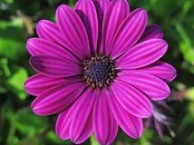 Маргаритка макроса розовая стоковое фото