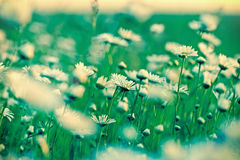 Маргаритка - маргаритка весны Стоковое Фото