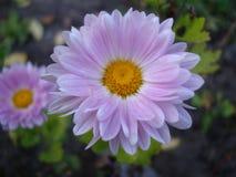 Маргаритка маргаритки - цветок сада стоковое изображение