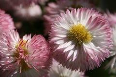 Маргаритка на весне Стоковые Фотографии RF