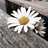 Маргаритка на деревянной скамье стоковая фотография