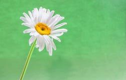 Маргаритка на зеленой предпосылке стоковые фото