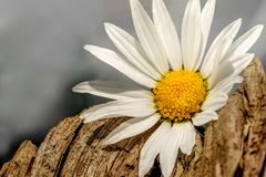 Маргаритка на куске дерева стоковые изображения rf