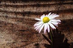 Маргаритка на предпосылке старой деревянной стены стоковые изображения rf