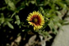 Маргаритка на предпосылке травы Стоковые Фото