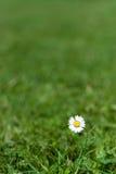 маргаритка одиночная Стоковая Фотография RF