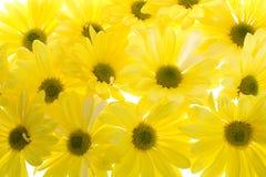 маргаритка предпосылки цветет желтый цвет shasta Стоковое Фото