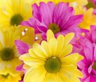 маргаритка предпосылки цветет розовый желтый цвет Стоковая Фотография RF