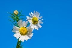 Маргаритка против голубого неба, весна цветка белая, ландшафт лета, конец-вверх, стоковые изображения