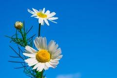 Маргаритка против голубого неба, весна цветка белая, ландшафт лета, конец-вверх, стоковая фотография rf
