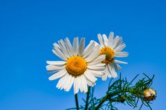 Маргаритка против голубого неба, весна цветка белая, ландшафт лета, конец-вверх, стоковая фотография