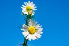 Маргаритка против голубого неба, весна цветка белая, ландшафт лета, конец-вверх, стоковое изображение