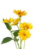 маргаритка пука цветет желтый цвет стоковая фотография