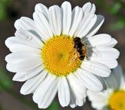 маргаритка пчелы Стоковое Фото