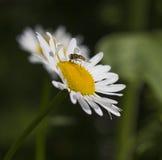 маргаритка пчелы многодельная Стоковое Фото