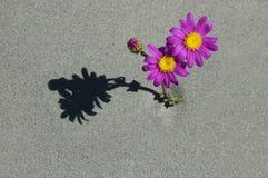 Маргаритка пляжа Стоковая Фотография