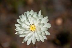 Маргаритка родного wildflower западной Австралии одиночная белая вековечная Стоковые Фотографии RF