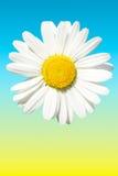 маргаритка солнечная Стоковая Фотография