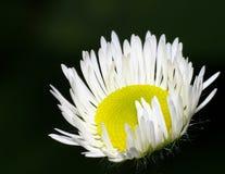 Маргаритка стоцвета конца-вверх Стоковые Изображения RF