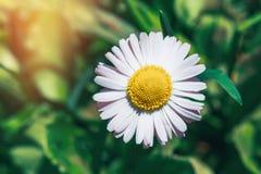 Маргаритка стоцвета на зеленой верхней части бутона предпосылки стоковое изображение
