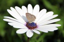 Маргаритка с бабочкой стоковые изображения rf