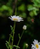Маргаритка с насекомым летания Стоковое Изображение
