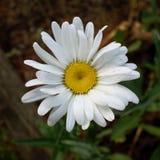 Маргаритка лужайки -- Bellis Perennis Стоковое Изображение