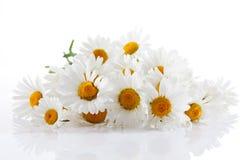 Маргаритка, цветения стоковые фотографии rf