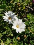маргаритка цветет белизна стоковые фотографии rf