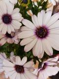 маргаритка цветет белизна стоковое изображение rf