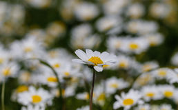 маргаритка цветет белизна Стоковое Фото