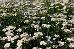 маргаритка цветет белизна Стоковая Фотография
