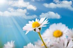 маргаритка цветет весна стоковые изображения rf