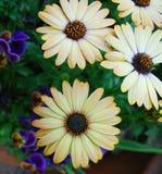 маргаритка цветет желтый цвет Стоковое Фото
