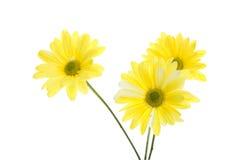 маргаритка цветет желтый цвет shasta 3 Стоковое Изображение
