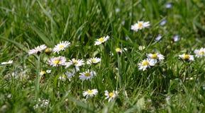 маргаритка цветет зеленый цвет травы Стоковые Фотографии RF