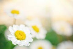 маргаритка цветет немногая стоковые фотографии rf