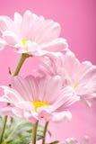 маргаритка цветет пинк стоковые фото
