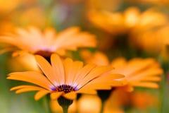 маргаритка цветет помеец стоковое изображение