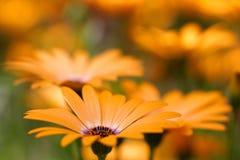 маргаритка цветет помеец стоковые фотографии rf