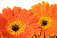 маргаритка цветет помеец gerbera Стоковые Фото