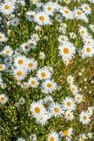 Маргаритка цветет предпосылка стоковое фото rf