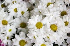 Маргаритка цветет предпосылка, конец-вверх красивых цветков белых маргариток Стоковое Изображение RF