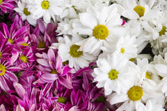 Маргаритка цветет предпосылка, конец-вверх красивых цветков маргариток Стоковое фото RF