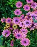 маргаритка цветет пурпур Стоковое Изображение