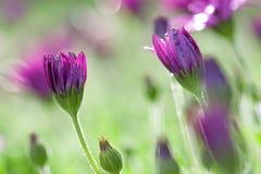 маргаритка цветет розовый пурпур Стоковое Изображение