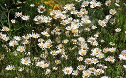 Маргаритка цветет луг Стоковые Фотографии RF