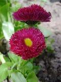 Маргаритка цветет цветене в саде Стоковые Изображения RF