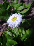 Маргаритка цветет цветене в саде Стоковое Фото